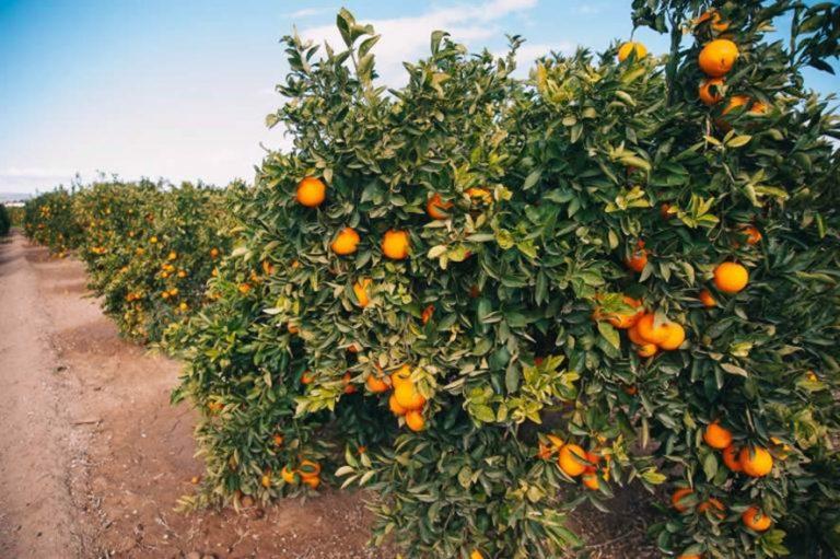 Abierto el plazo de solicitud de avales de SAECA subvencionados por el MAPA destinados a la financiación de explotaciones citrícolas